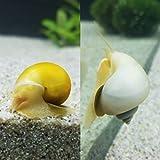piercedrepublicusa Mystery Snail Package! 1 Gold,...