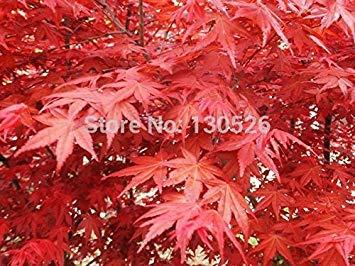 120 GRAINES JAPANESE TREE MAPLE ROUGE AVEC FORFAIT HERMETIC JAPAN MAPLE NOUVELLES GRAINES PLUS CADEAU MYSTÉRIEUSE!