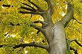 Haya Europea, Fagus sylvatica, 15 semillas de árboles (come