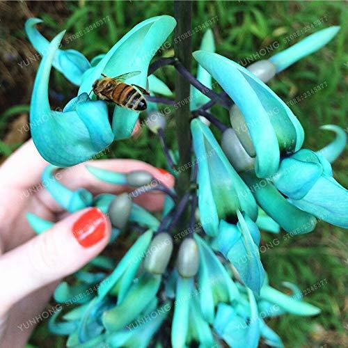 30Pcs / Packung Jadewein 'Strongylodon Macrobotrys' Blumensamen Fragrant Perennial Blaue Blume für Hausgarten
