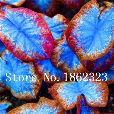 GEOPONICS SEEDS: Verkauf! 100 Stück Caladium Bonsai Caladium Blumen Bonsai Zimmerpflanzen Bonsai Colocasia Anlage für Hausgarten-Topfpflanze: 17