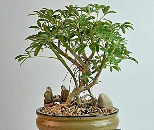 100 kleine Strahlenaralie Samen, Schefflera arboricola, Umbrella Tree, für Bonsai