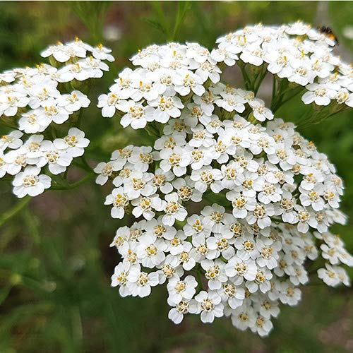 White Yarrow Western Flower Seeds, 1500 Seeds Per Packet, Botanical Name:...