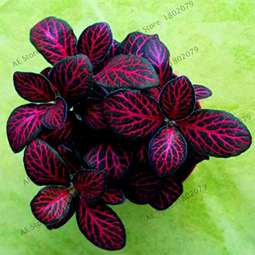 Ferry 100pcs/bag Fittonia Verschaffeltii Flores, Bonsai Plant for Home and Garden,Indoor Office Decoration : 2