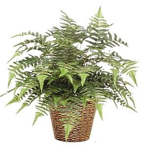 Silk Plant SWORD FERN 24″H