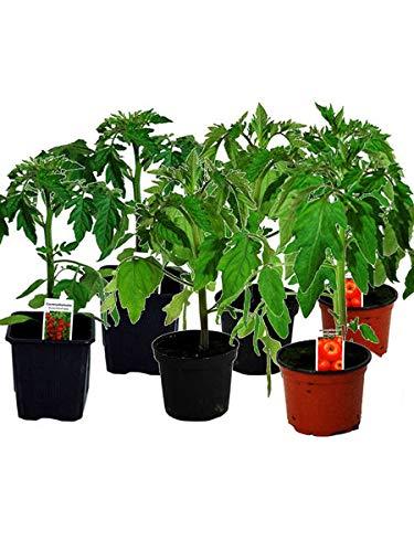 Tomatenset, 6 Tomatenpflanzen,Normale...