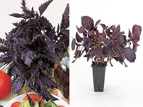 100 Purple Ruffles Basil seeds Grow your own herb Exotic EZ grow A44
