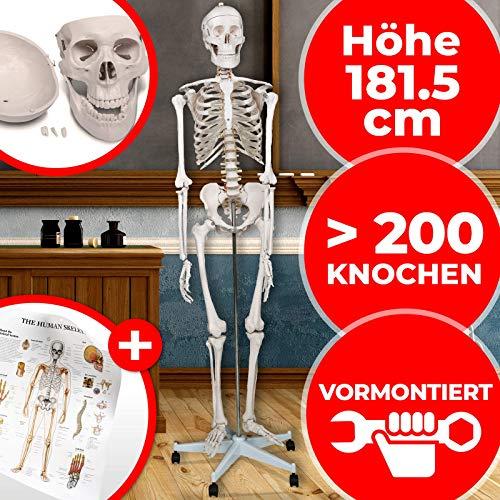 Anatomie Skelett - inkl. Schutzabdeckung, Lehrgrafik Poster, Standfuss mit Rollen, lebensgroß, 181.5 cm - menschliches Lernmodell, Lehrmittel, anatomisches Modell, Mensch Knochen