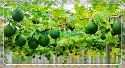 70pcs! Cédant printemps / automne organique semences potagères balcon en pot plantation haricots verts graines