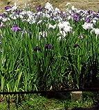 WFW wasserflora Japanische Sumpf-Schwertlilie/Iris Ensata im 9x9 cm Topf