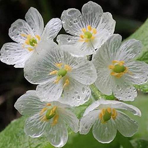 Qulista Samenhaus - Japan Selten Exotic Diphylleia grayi Transparent Blumensamen Skelettblume winterhart mehrjährig