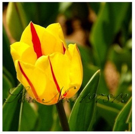 100 pcs / sac Netherland graines de tulipe, 24 couleurs parfum tulipe fleurs bonsaï de semences de plantes en pot, de purifier l'air, boule de plante agricole