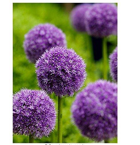 Xiton 50 pc/sacchetto, Viola Giant Allium Giganteum semi di bel fiore giardino pianta del regalo