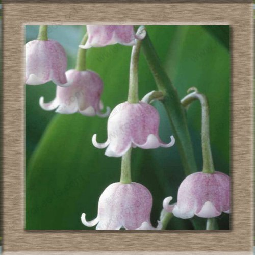 Orchidées-20 Lily Of The Valley Seeds fleurs, graines de Bell Orchid, Rich Aroma, Bonsai Seed Fleur, Multicolore Graines