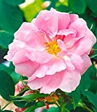 Rosa damascena 'Trigintipetala', Historische Strauchrose in A-Qualität Wurzelware