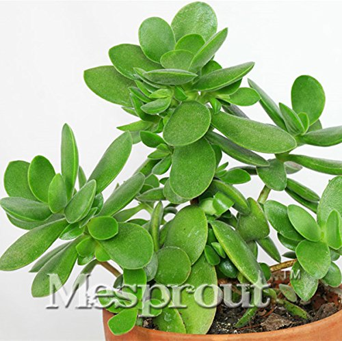 20PCS Bonsai Crassula ovata Graines Bonsaï. Rare japonais Crassula ovata Plantes Graines de balcon pour jardin