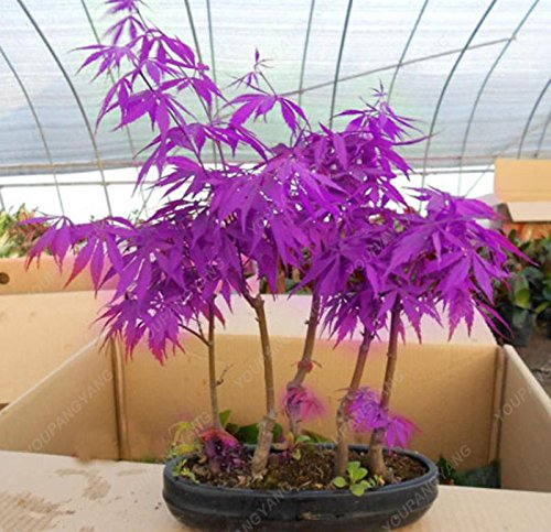 50 pcs/sac japonais Graines de Maple Maple Leafs de Toronto arbre Graines vivaces plantes ornementales Feu d'érable Bonsaï Jardin Plante Blanc