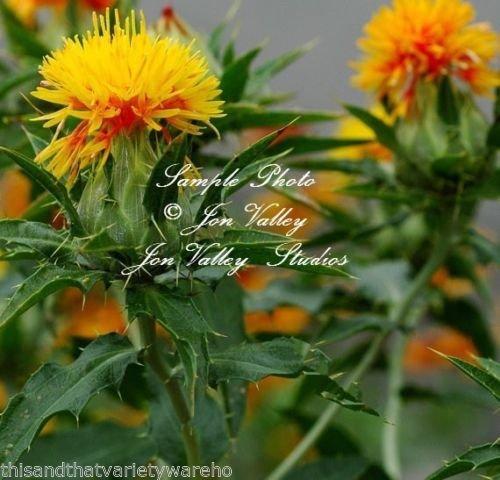 Las semillas de cártamo Carthamus Tinctorius amarillo de flores silvestres de jardinería xerojardinería