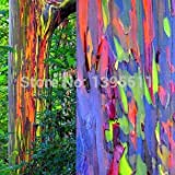 RETS 30 / Bag seltener Regenbogen Eucalyptus Deglupta, Baum, Bonsai, Zimmerpflanze, Gewächshaus