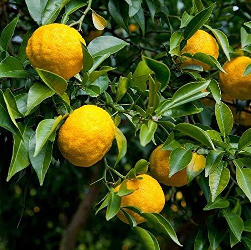 Citrus Yuzu - Citronnier japonais