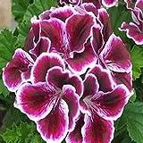 Semillas para Germinar Brotes,Semillas de Flores de Geranio de Plantas fáciles de Vivir-O_100pcs,Perennes Semillas De Flores