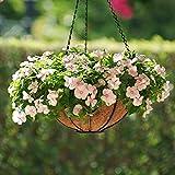 Promworld Plantes ornementales,Graines de Catharanthus-Excellent_Deep Rose Red 5 Capsules,Graine parfumée Vivace