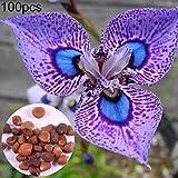 Kimilike Iris Germanica Samen
