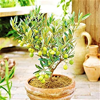 Amazon Com 10 Pcs Rare Mini Olive Bonsai Tree Olea Europaeseeds Home Decor Bonsai Pot Garden Outdoor