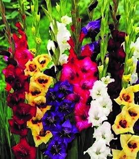 Perennials Gladiolus Bulbs Spectacular Low Growing Dwarf Border Flower Mix