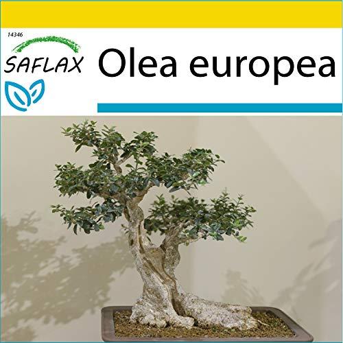 SAFLAX - Kit de culture - Olivier - 20 graines - Olea europea