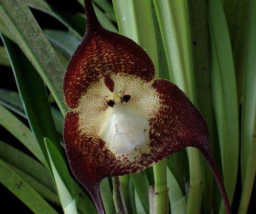 Orchidée visage de singe violet foncé - 20 graines