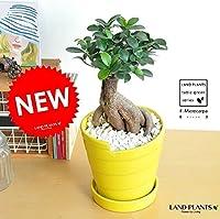 LAND PLANTS 多幸の木 がじゅまる カラーポット 黄色陶器鉢の 盆栽仕立て