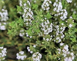 CROSO HIGH Germination Seeds ONLY NOT Plants: Thymus Fragrantissimus Orange Thyme 10 Seeds