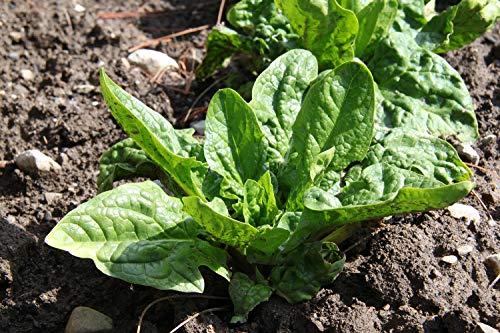 SAFLAX - Ecológico - Espinaca - Gigante de Invierno - 250 semillas - Spinacia oleracea