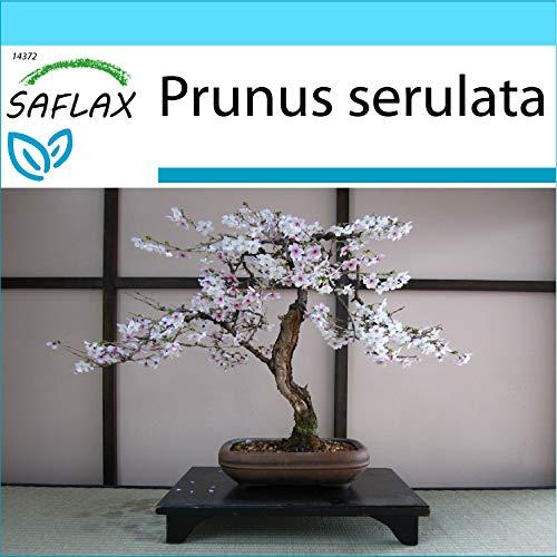 SAFLAX - Set regalo - Cerezo japonés - 30 semillas - Con caja regalo/envío, etiqueta para envío, tarjeta de felicitación y sustrato de cultivo y fertilizante - Prunus serulata
