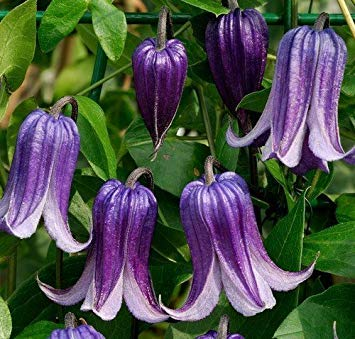 Potseed - Clematis Integrifolia Seeds