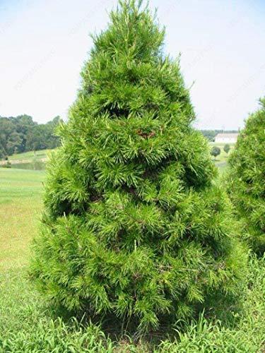 ASTONISH Erstauner SEEDS: MIX: 50 Baumsamen Seltene Evergreen Colorado Fichte Samen PA gut für in Töpfen Blumentopf Pflanzer wachsen
