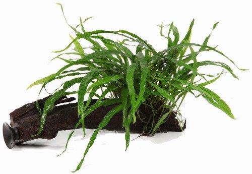 WFW wasserflora Wurzel+Saugnapf mit Schmalblättrigem Javafarn/Microsorum pt. Narrow auf Wurzel+Sauger