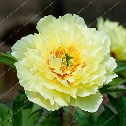 HONIC 2ST Peony Birnen Perennial Blumen Pflanzen Bonsai Licht Fragrant Staudengarten Exotische blühende Pflanzen DIY Hausgarten: 2 Pfingstrosen gelb