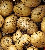 ATTIS Garden - 7 patatas de semillas de maris Piper (aproximadamente 1 kg)