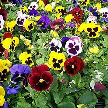 BloomGreen Co. Graines de fleurs: hybride Pansy Seeds- Mixte Multicolor Fleur Graines de plantes Graines hybrides - Flower Garden Seeds Paquet