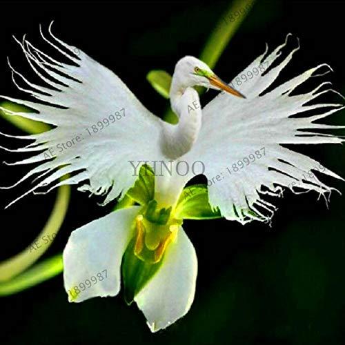 Bloom Green Co. ¡Auténtico!100 Plantas Radiata japonesas Orquídea blanca Orquídea Bonsai flores Orquídeas raras Especies de orquídeas del mundo Orquídea para el jardín Inicio