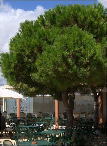 Seedeo® Mittelmeer - Pinie (Pinus pinea) 7 Samen