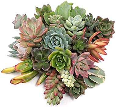 Live Succulent Cuttings 10-100 Assorted Varieties Beginners Succulents, Mini Gardens, and as Starter Plants (10)