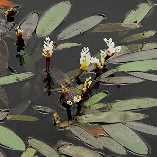Aponogeton distachyos | Afrikanische Wasserähre | Weiße Blüte | Teichpflanze | Höhe 20cm | Topf-Ø 11cm