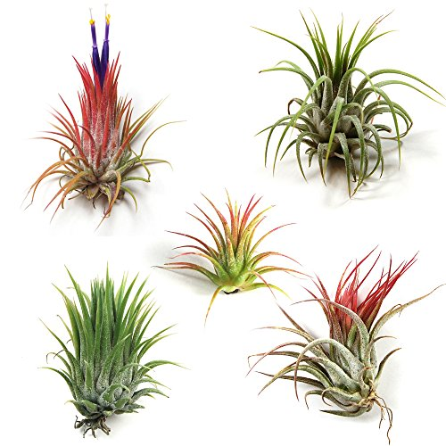 12 Pack Tillandsia Ionantha Air Plants - Fast Shipping - 30 Day...