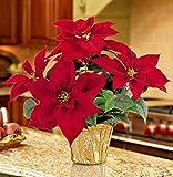 FIOLTY Seeds Package: 1 X Poinsettia  Christmas Feelings Merlot  Deep Red Large Plug Seeds