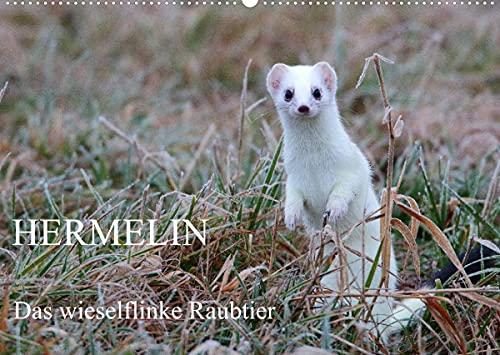 Hermelin - das wieselflinke Raubtier (Wandkalender 2022 DIN A2 quer)