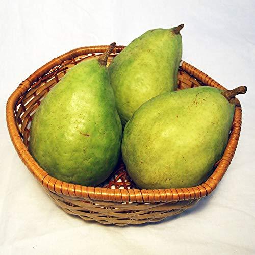 ル・レクチェ 約3kg(6〜9玉) 特別栽培 (長野県 さんさんファーム) 産地直送 ふるさと21