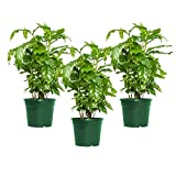 "American Plant Exchange Arabica Coffee Indoor/Outdoor Air Purifier Live Plant, Three 4"" Pots, Produces Fragrant Flowers"